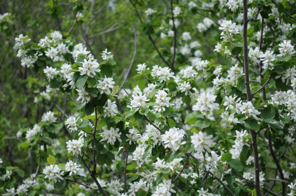 White flowers ID.jpg