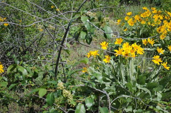 Yellow flowers ID.jpg