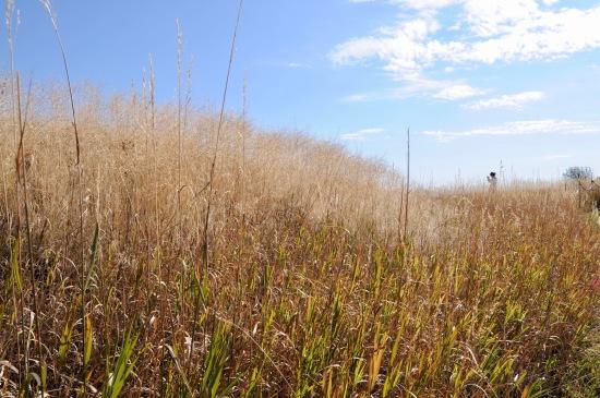 Bighorn grass.jpg